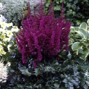 Prachtspiere (Astilbe chinensis) VISION in Red®