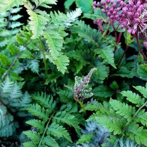 Brokatfarn (Athyrium niponicum) Burgundy Lace