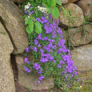 Blaukissen (Aubrieta x cultorum) Cascade Blau