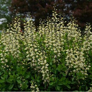 Indigo-Lupine (Baptisia) Decadence Vanilla Cream