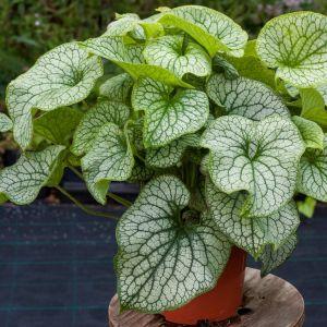 Silbriges Kaukasusvergissmeinnicht (Brunnera macrophylla) Alexander's Great