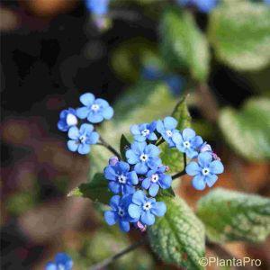 Silbriges Kaukasusvergissmeinnicht (Brunnera macrophylla) Jack Frost