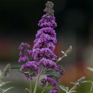 Zwerg-Schmetterlingsflieder (Buddleja davidii) HUMDINGER Lavender Cupcake®