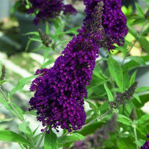 Zwerg-Schmetterlingsflieder (Buddleja davidii) BUZZ Buddleia Wine