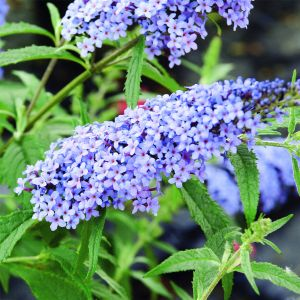 Zwerg-Schmetterlingsflieder (Buddleja davidii) BUZZ Improved Sky Blue