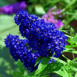 Zwerg-Schmetterlingsflieder (Buddleja davidii) BUZZ Midnight