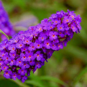 Zwerg-Schmetterlingsflieder (Buddleja davidii) BUZZ Pink Purple