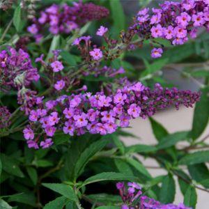 Zwerg-Schmetterlingsflieder (Buddleja davidii) FREE PETITE Dark Pink