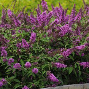 Zwerg-Schmetterlingsflieder (Buddleja davidii) FREE PETITE Tutti Frutti