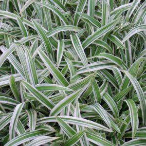 Breitblatt-Segge (Carex ciliatomarginata) Treasure Island