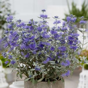 Bartblume (Caryopteris x clandonensis) Sterling Silver