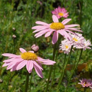 Rosa Strauchmargerite (Chrysanthemum coccineum) Robinson Rosa
