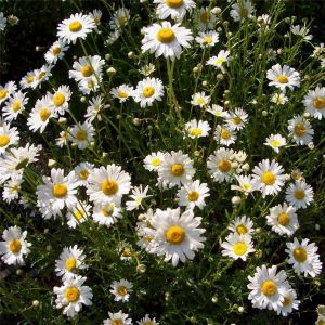 Hohe Margerite (Chrysanthemum leucanthemum) Maikönigin