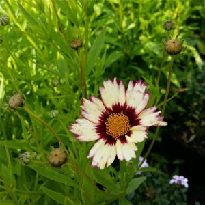 Mädchenauge (Coreopsis) Redshift®