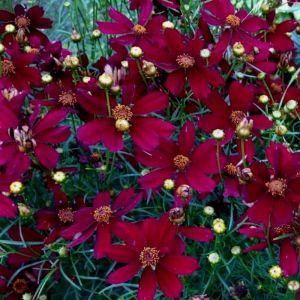 Mädchenauge (Coreopsis) Red Satin
