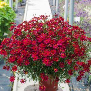 Mädchenauge (Coreopsis rosea) BLOOMSATION Dragon®