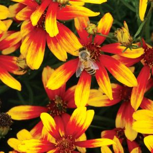 Mädchenauge (Coreopsis verticillata) Lightning Bug