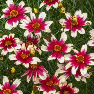 Mädchenauge (Coreopsis verticillata) Sunstar Rose