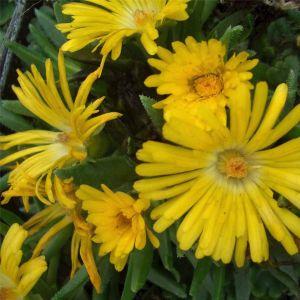 Mittagsblümchen (Delosperma congestum) Golden Nugget
