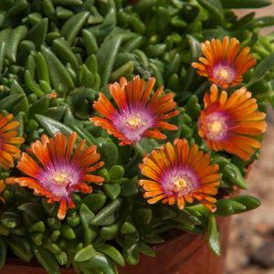 Mittagsblümchen (Delosperma) SUNDELLA Orange