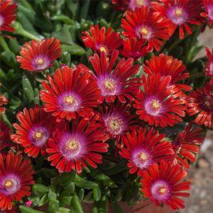 Mittagsblümchen (Delosperma) Sundella Red