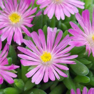 Mittagsblümchen (Delosperma cooperi) Jewel of Desert Candystone