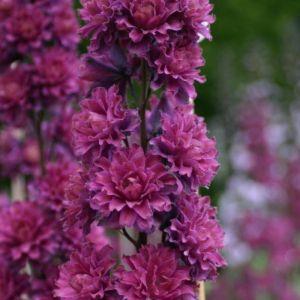Rittersporn (Delphinium elatum) Highlander Flamenco
