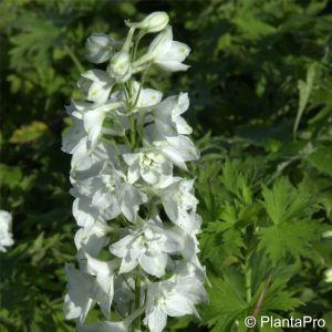 Rittersporn (Delphinium cultorum) PACIFIC GIANTS Galahad