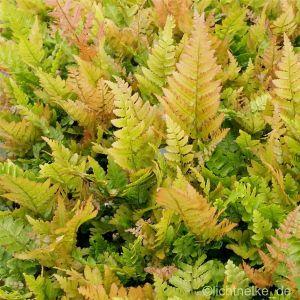 Rotschleier- Farn (Dryopteris erythrosora)