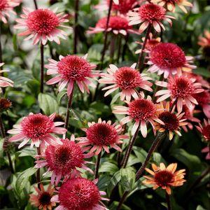 Sonnenhut (Echinacea purpurea) Raspberry Truffle