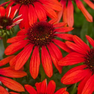 Sonnenhut (Echinacea) Red Pearl