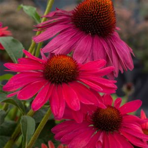 Sonnenhut (Echinacea) Sweet Meadow Mama