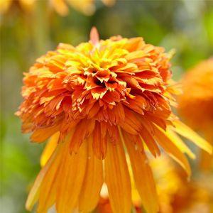 Sonnenhut (Echinacea purpurea) Marmalade