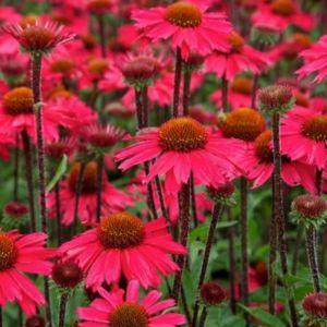 Sonnenhut (Echinacea) Sensation Pink