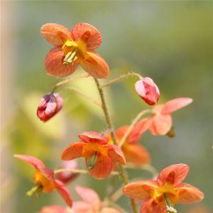 Elfenblume (Epimedium warleyense) Ellen Willmott
