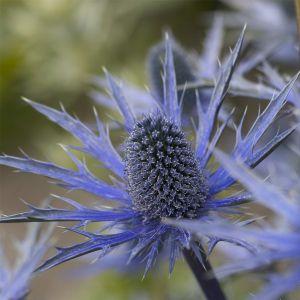 Edeldistel-Mannstreu (Eryngium x zabelii) Big Blue