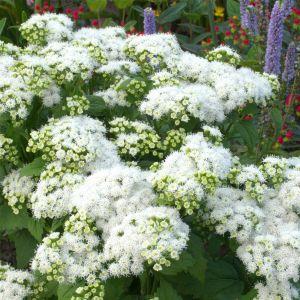 Weißer Zwerg-Gartendost (Eupatorium rugosum (Ageratina altissima)) Lucky Melody