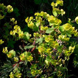 Mandelblättrige Wolfsmilch (Euphorbia amygdaloides) Robbiae
