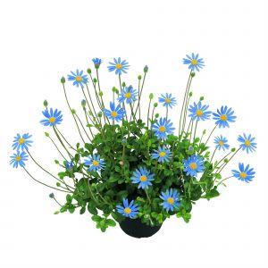 Blaues Gänseblümchen (Felicia amelloides) Forever Blue