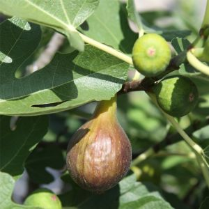 Feigenbaum (Ficus carica) Bornholm