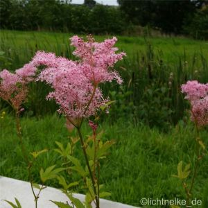 Hohes Mädesüß (Filipendula rubra ) Venusta