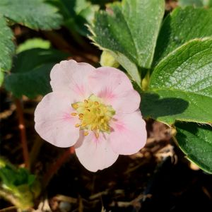 Gourmeterdbeere (Fragaria) DOUBLE PLEASURE Delirose®