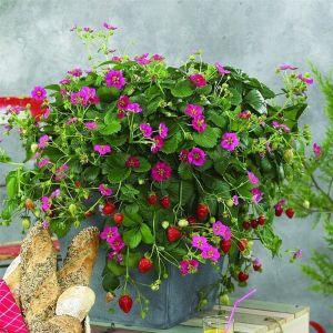 Hängeerdbeere  (Fragaria) FRAGOO Toscana F1 Deep Rose