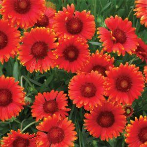 Kokardenblume (Gaillardia aristata) Mesa™ Red