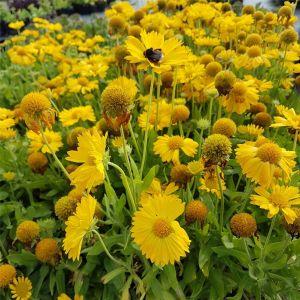 Kokardenblume (Gaillardia aristata) MESA Yellow