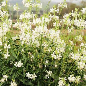 Prachtkerze (Gaura lindheimerii) Graceful White