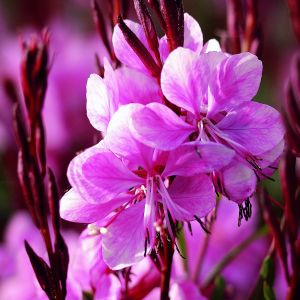 Prachtkerze (Gaura lindheimerii) Lillipop Pink