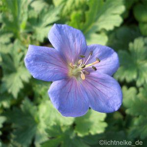 Himalaya-Storchschnabel (Geranium himalayense) Irish Blue