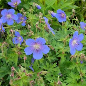 Himalaya-Storchschnabel (Geranium himalayense ) JOHNSONS BLUE