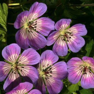 Storchschnabel (Geranium wallichianum) Sweet Heidy